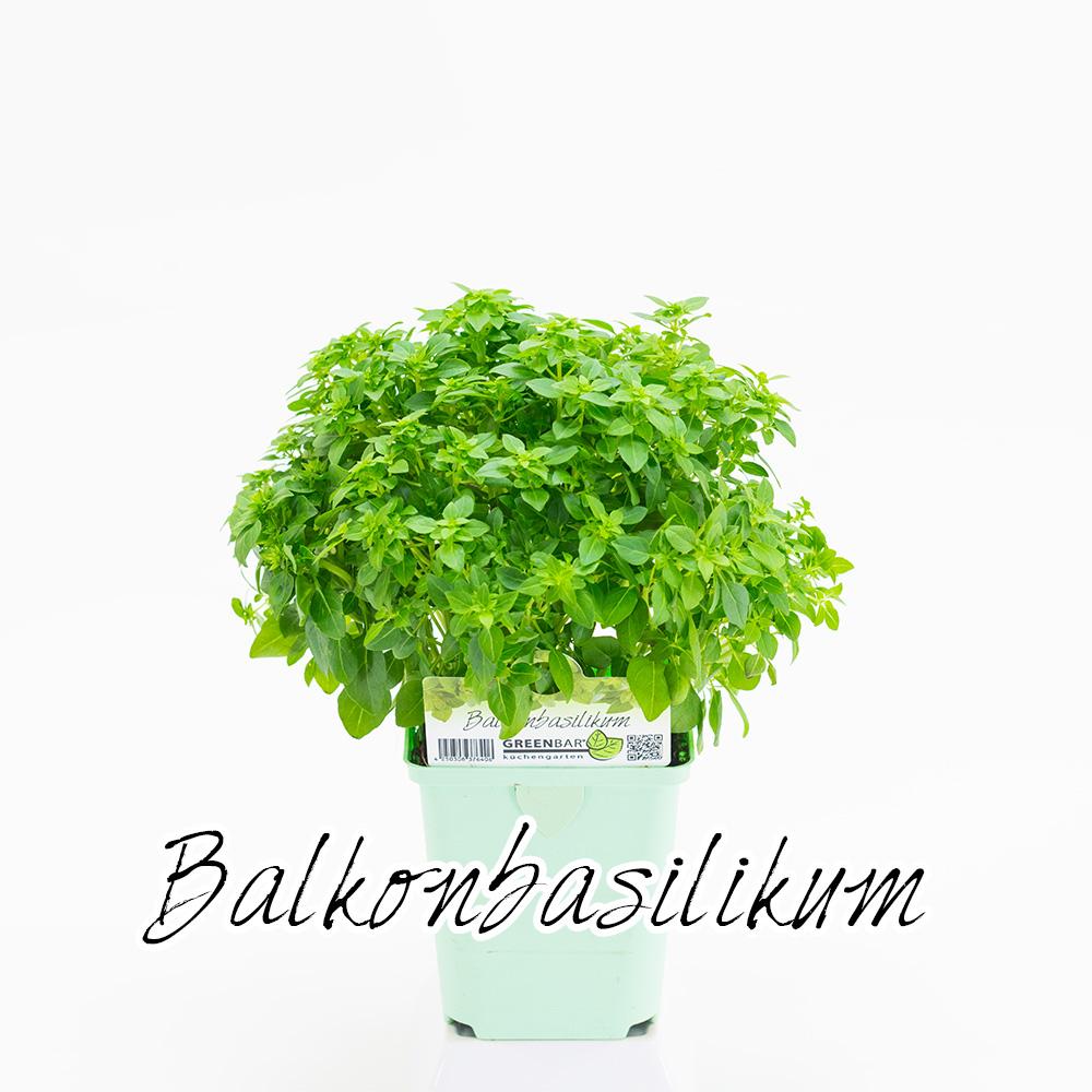 Balkonbasilikum Pflanze