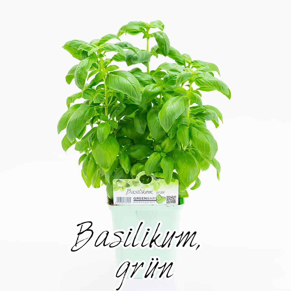 Gruener Basilikum Pflanze