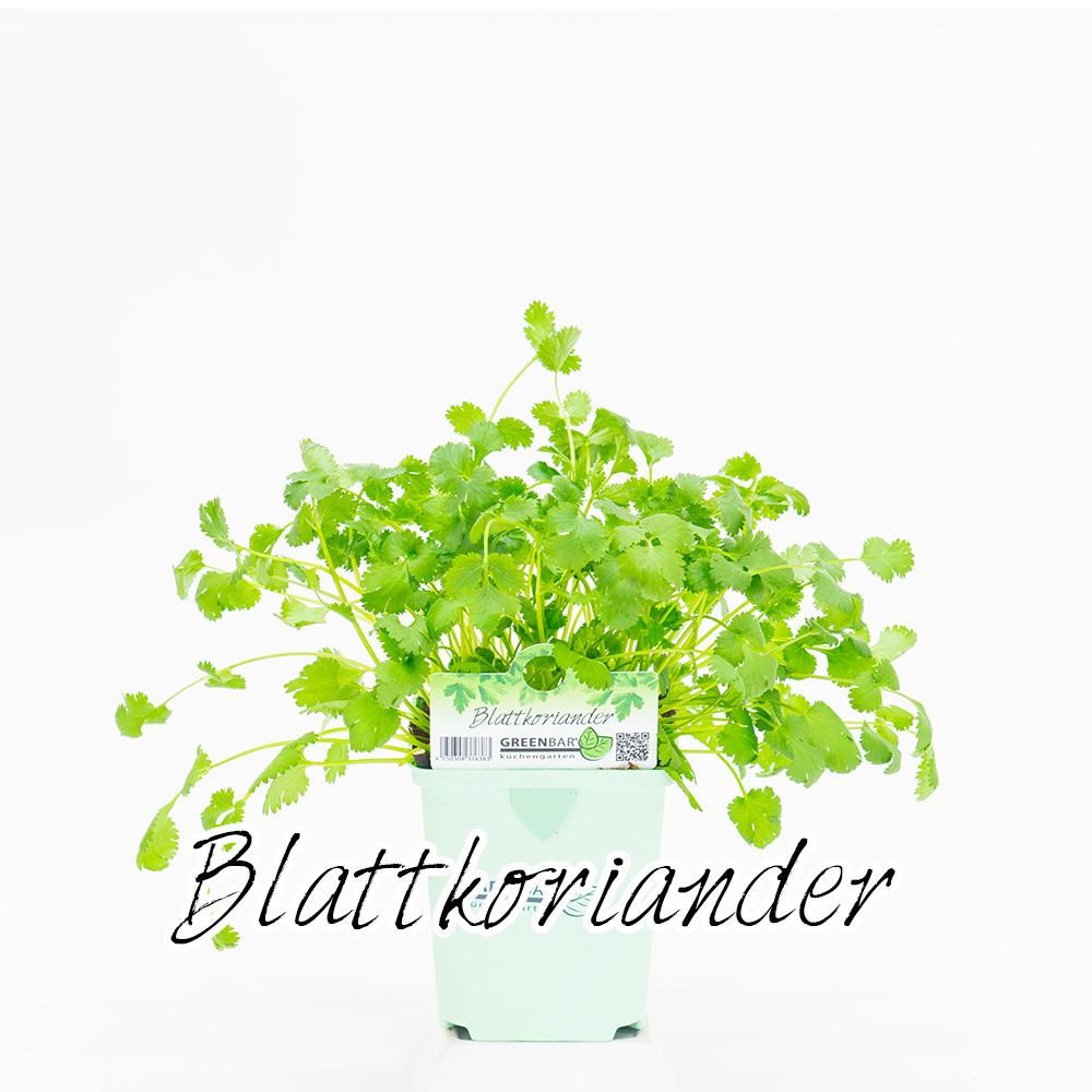 Blattkoriander Pflanze