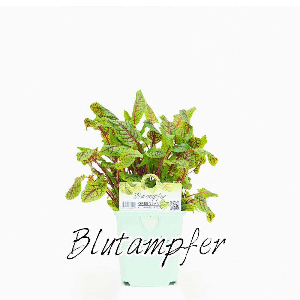 Blutampfer Pflanze