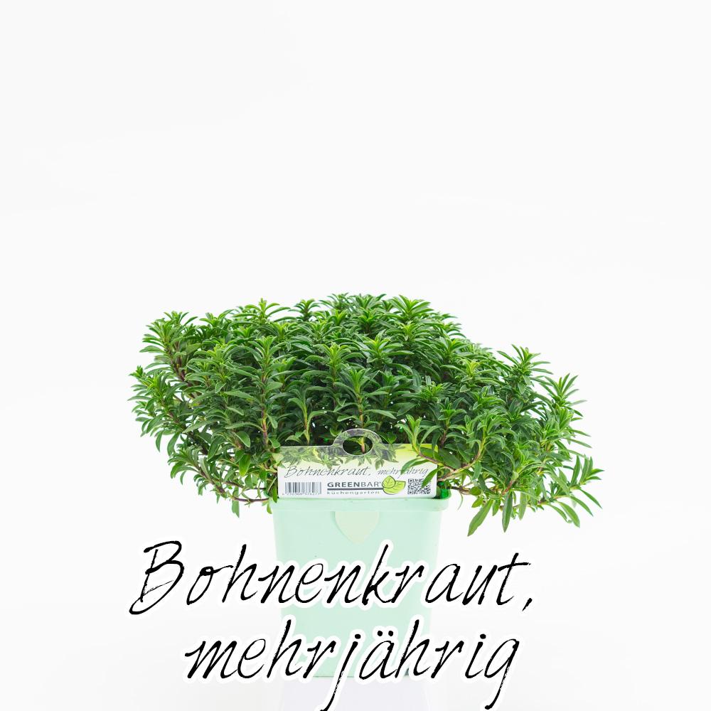 Bohnenkraut mehrjaehrig Pflanze