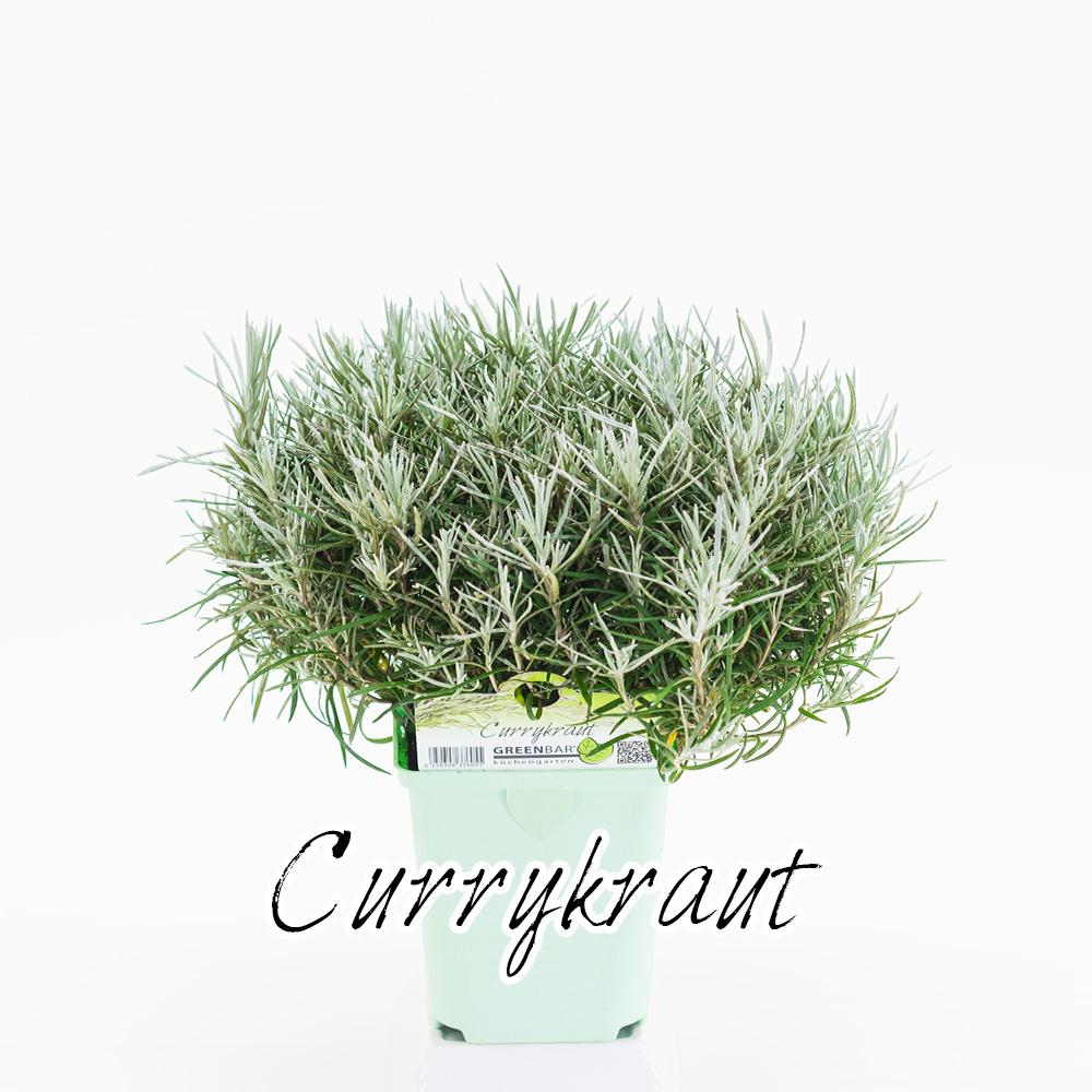 Currykraut Pflanze