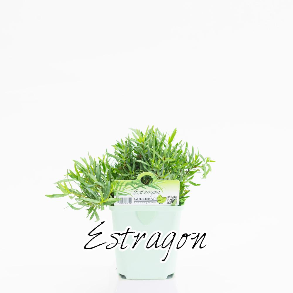 Estragon Pflanze