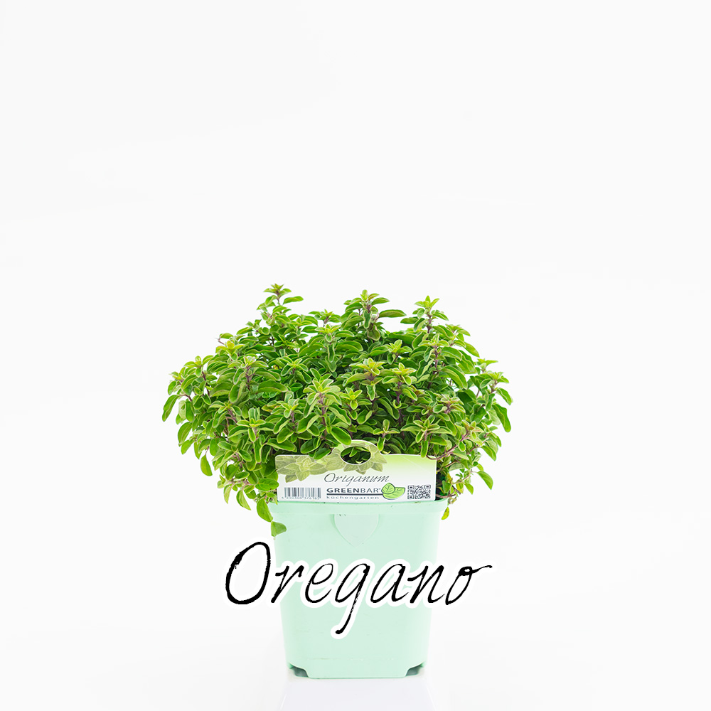 Oregano Pflanze