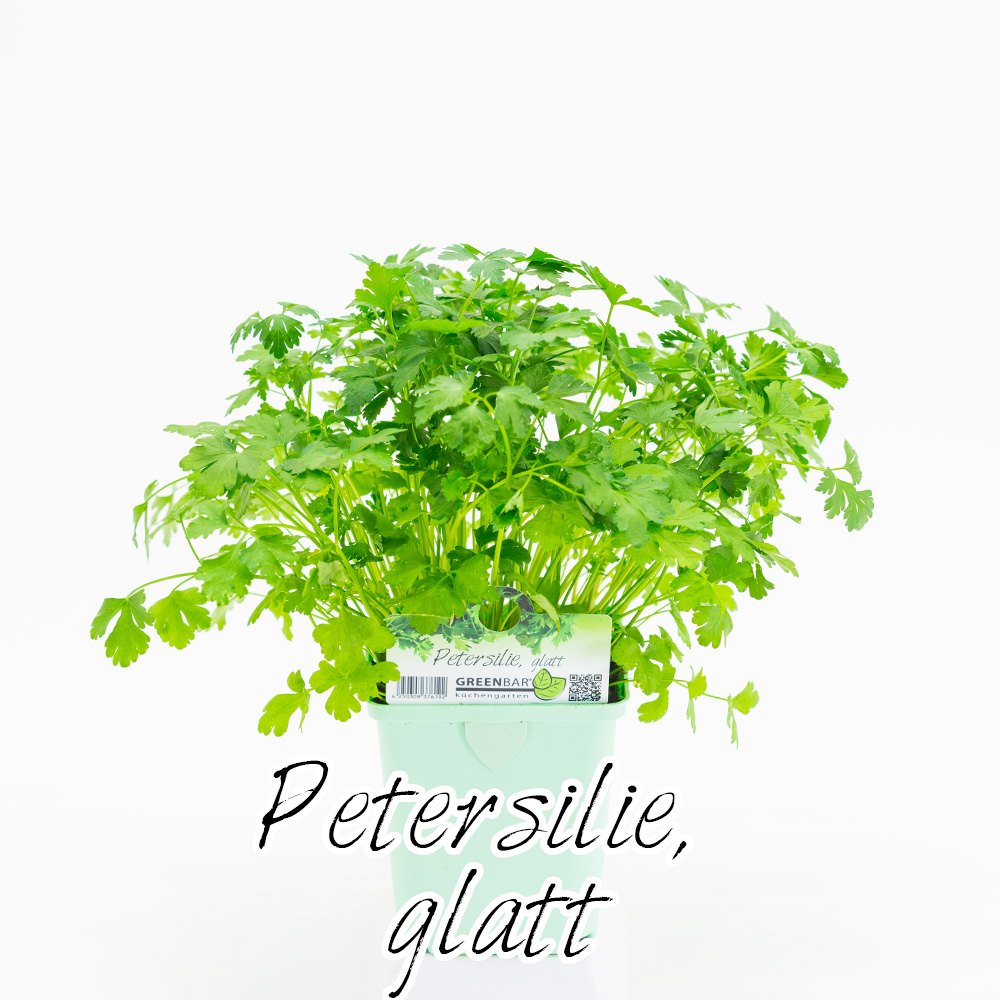 Petersilie glatt Pflanze