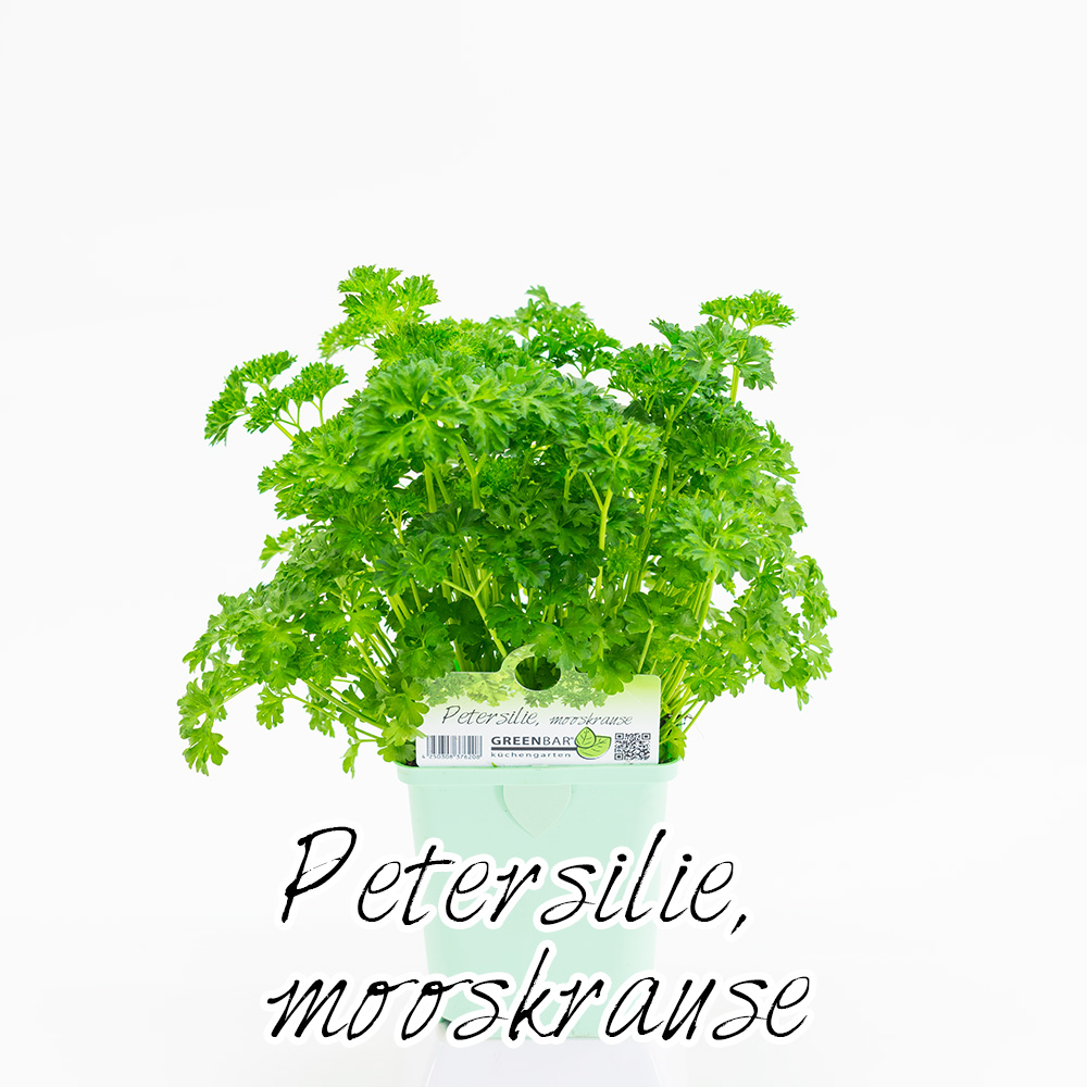 Petersilie mooskrause Pflanze