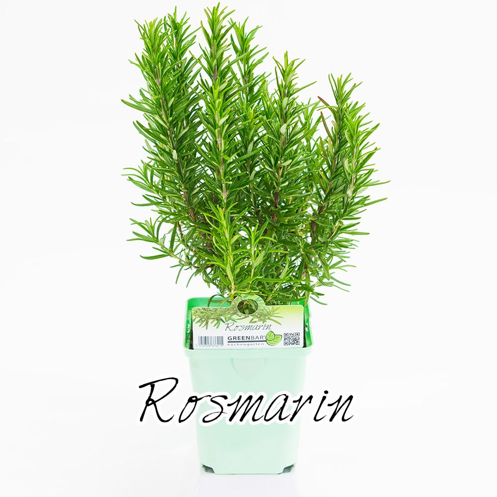 Rosmarin Pflanze