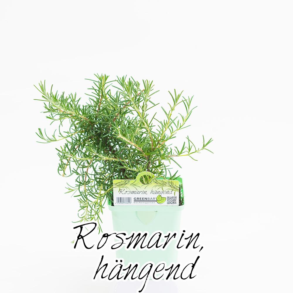 Rosmarin haengend Pflanze