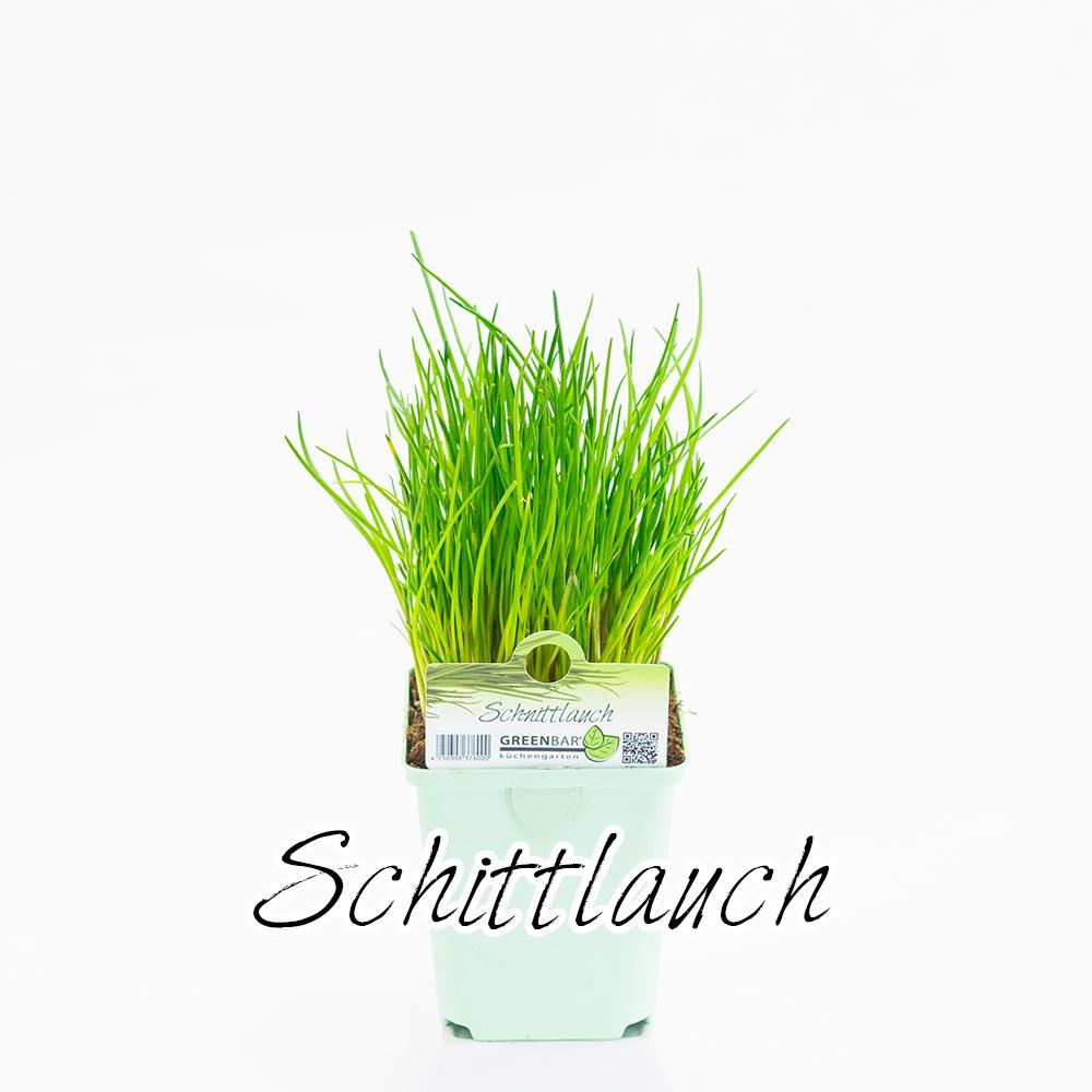 Schnittlauch Pflanze