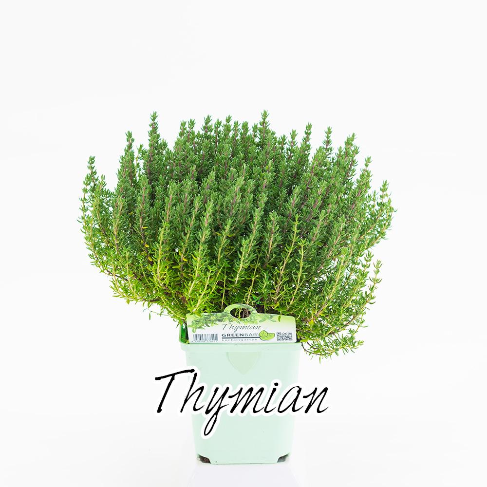 Thymian Pflanze
