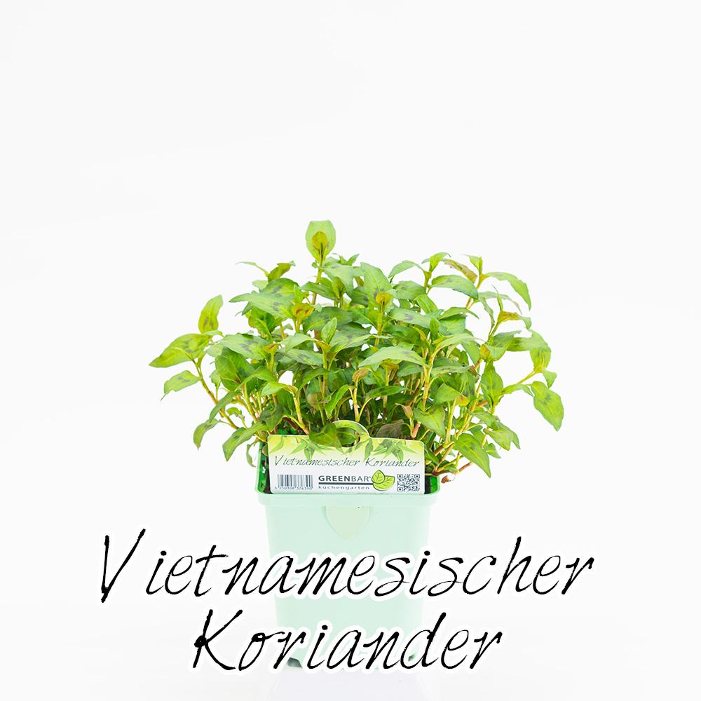 Vietnamesischer Koriander Pflanze