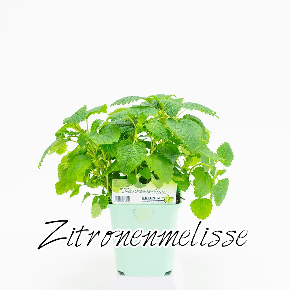 Zitronenmelisse Pflanze