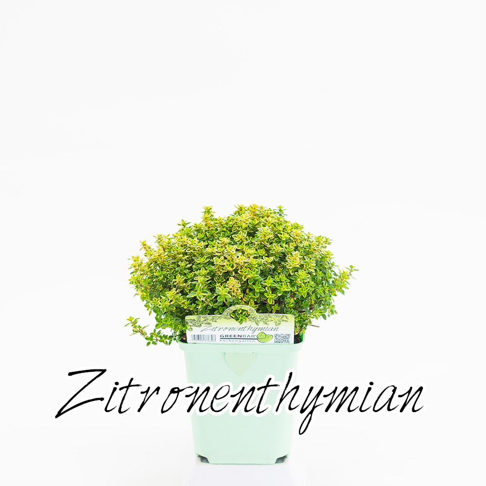 Zitronenthymian Pflanze