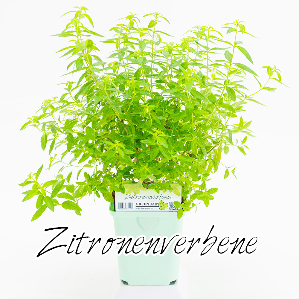 Zitronenverbene Pflanze